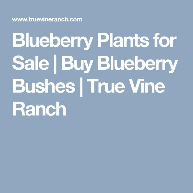 Blueberry Plants for Sale   Buy Blueberry Bushes   True Vine Ranch