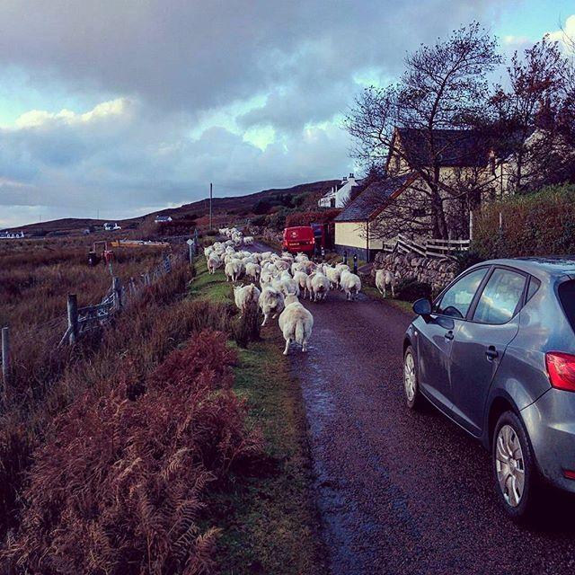 Ya sea de Londres a Portsmouth o simplemente de Achiltibuie a Altandhu, esta es la historia de mi vida cuando quiero volver a mi hogar. #RushHour el dia que las ovejas se te empacan sin darte paso alguno. Postal clásica de la vida Highlander. - - - - - #Highlands #Scotland #UK #Britain #Caledonian #sheep #road #street #instagood #picoftheday #travel #travelgram #instatravel #altandhu #achiltibuie #westcoast #bloggerargentina #britishblogger #travelblogger #travel #trip #viajar #turismo…
