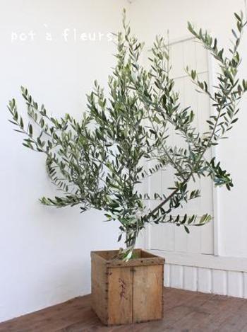 オリーブの木は、 葉っぱの形もくるりとしていて、観賞用としてもとても華やか。  こちらはリンゴの木箱を鉢植えの鉢としてアレンジしたタイプです。 とてもお洒落。