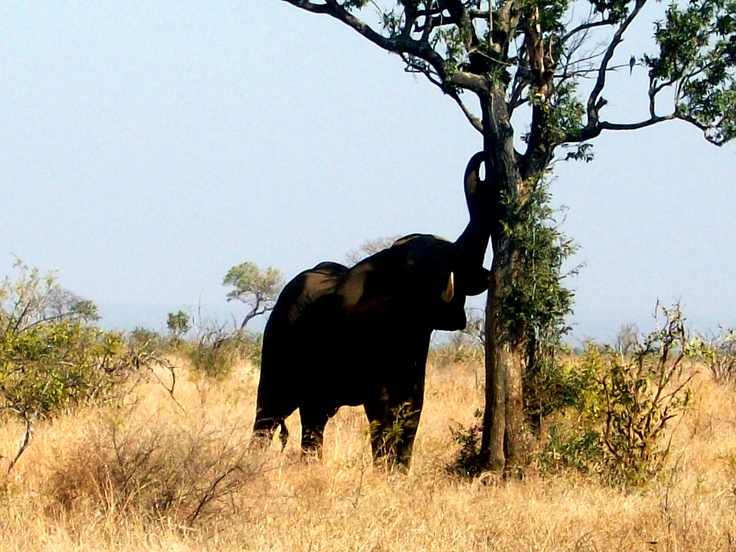 Elephant reaching high for food.