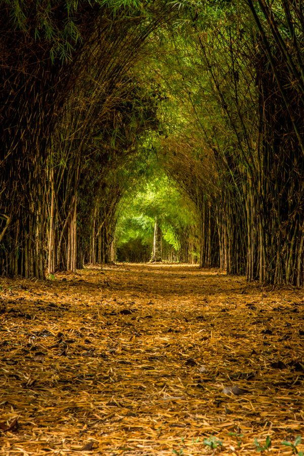 Bambu y Guadua en el Quindio, Colombia