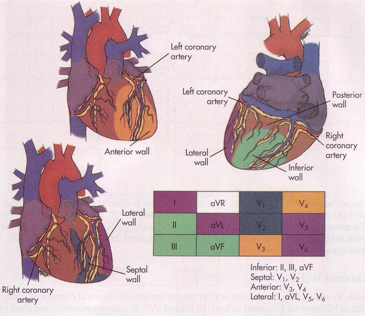 The 25  Best Arteries Anatomy Ideas On Pinterest