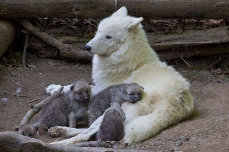 Recently, at Schönbrunn Zoo, in Vienna, five Arctic Wolf pups were seen exploring their exhibit for the first time, with mom, 'Inja'. The pups were born April 25, in a protective, low-lying burrow in their forest exhibit enclosure.