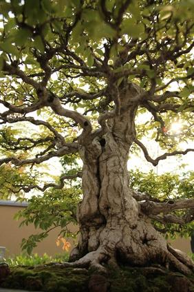 Bay St. Louis, MS Japanese magnolia tree
