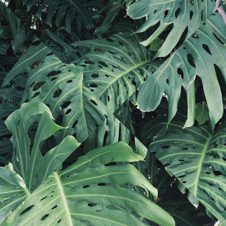 Monstera leafs #letsgoallbotanical
