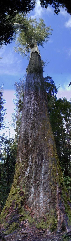 Eucalyptus de la Vallée du Styx en Tasmanie