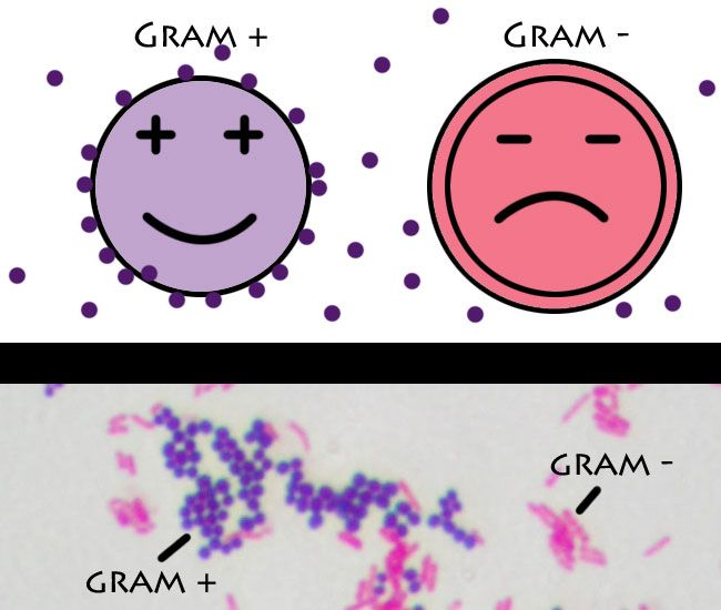 The trick to remembering the difference between gram positive and gram negative bacteria is to first understand where their naming convention comes from. I have an article follow by a mini game to ...