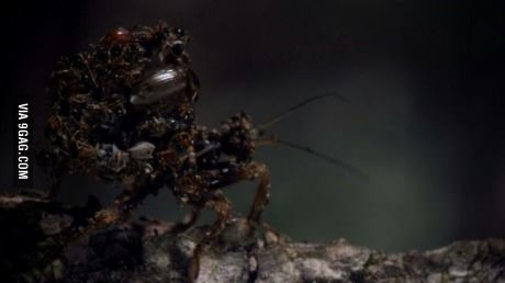 The assassin bug glues the corpses of victims on his body.