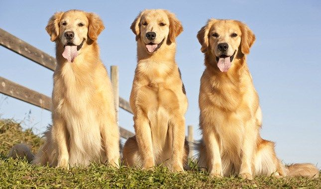 The History Of The Golden Retriever Golden Retriever Dog