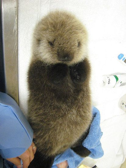 Solo fluffy!! Adorable baby otter