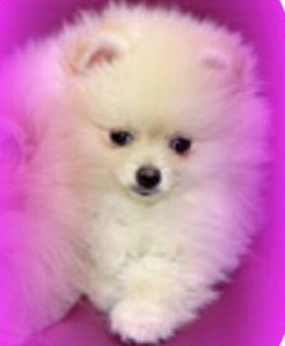 Pomeranian Colors Photos Colored