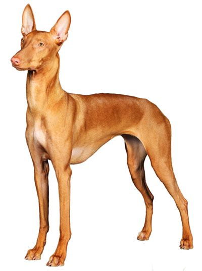 Pharaoh Hound Information, Facts, Pictures, Training and Grooming