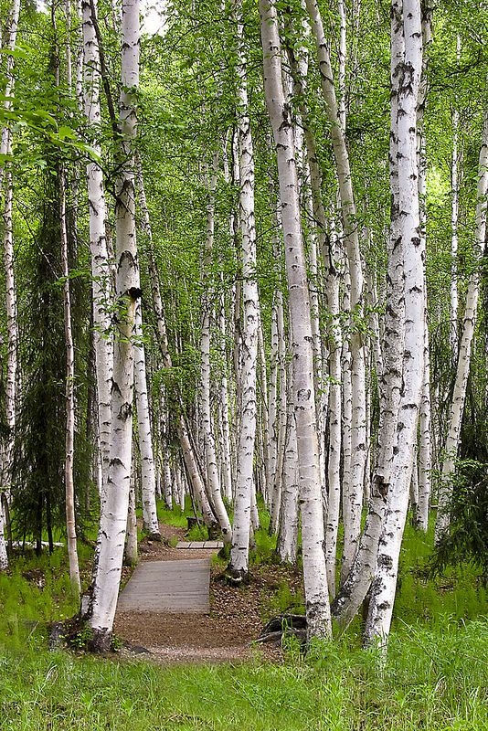 path in the birch - photo #22