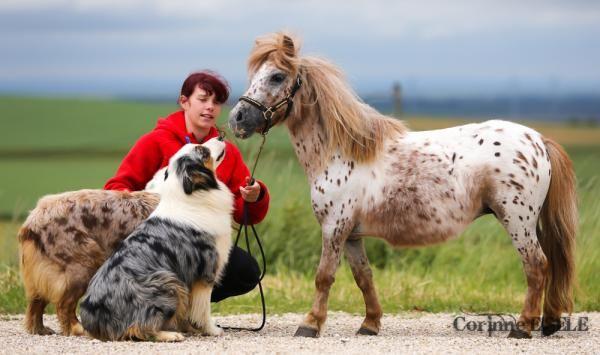 Miniature horse & Australian shepherds