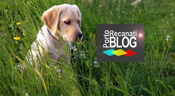 Allevamento Labrador Marche a Potenza Picena