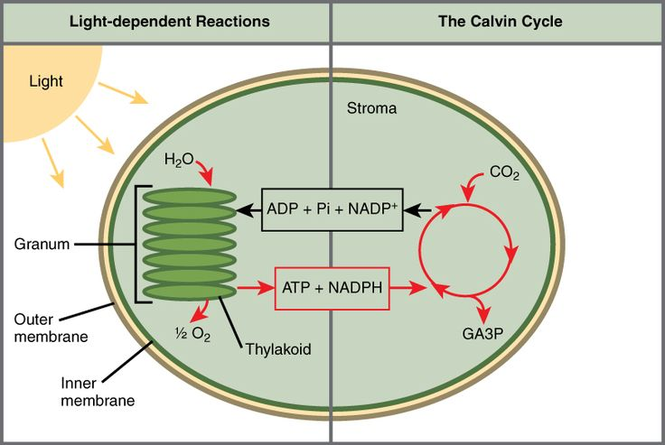 Related image Photosynthesis, cellular respiration