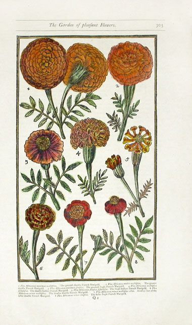 French Marigold.  Parkinson Paradisi in Sole botanical prints