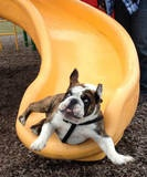 dog-on-slide