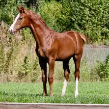 Whittaker DMV | 2017 Hanoverian Colt by Windfall CB.    Find your dream horse at www.dreamcatchermeadows.com    #equestrian