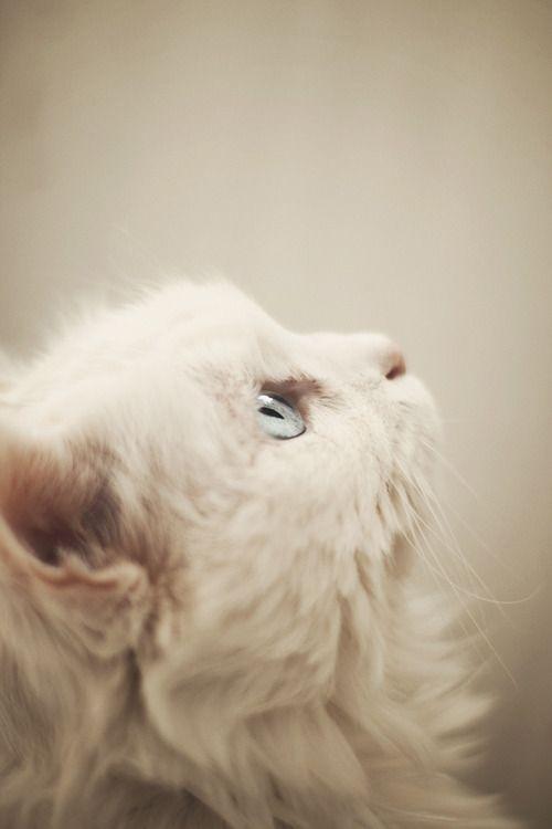 blue eyed beauty: Baby Blue, Kitty Cat, Soft Colors, Blue Eye, Persian Cat, Snow White, Baby Cat, White Kittens, White Cat