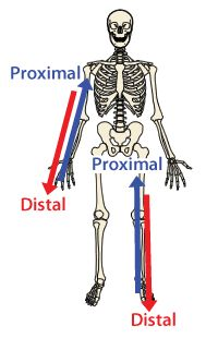 planes of movement Proximal/distal | Proximal vs Distal ...