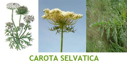 Carota Selvatica - Yahoo Image Search Results
