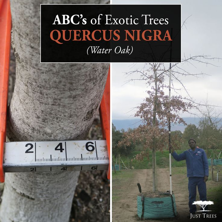Making our way through the ABC's of Exotic Trees we find ourselves at 'Q' where we are focusing on the Quercus nigra (Water Oak). Native to the eastern and south-central United States, this deciduous tree has a trunk that can reach up to 1m wide. While the Water Oak is primarily adapted to swampy areas, it can also tolerate well-drained locations with compacted soils. This makes a great shade tree and enjoys full sun, which can be handy in warmer months!