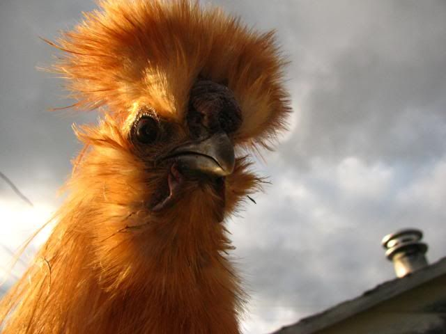 Funny Quotes About Chickens: 10+ Ideas About Funny Chicken Pictures On Pinterest