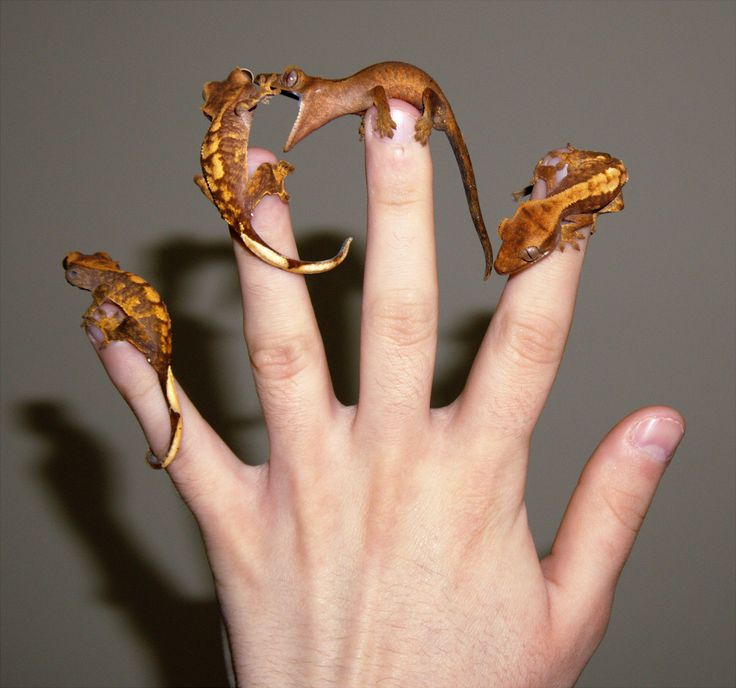 I was trying to get a photo of all of my baby crested geckos on my hand and I managed to get very lucky with my timing, this is quite possibly the funniest photo I've ever taken.