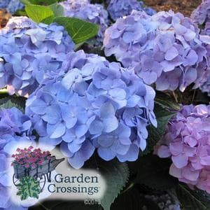 LETS DANCE® Blue Jangles®  Hydrangea. (Big Leaf Hydrangea) Standing 2-3' tall, the large, rich blue mop head blooms. Is going to naturally be pink, but with a little aluminum sulfate and lower pH soils this variety will easily turn blue. The frilly florets are tightly packed together creating a very full flower. This flowering shrub blooms on both new and old growth, which means more blooms.  the best time to prune is it after it blooms, from mid-July to mid-August. More Info