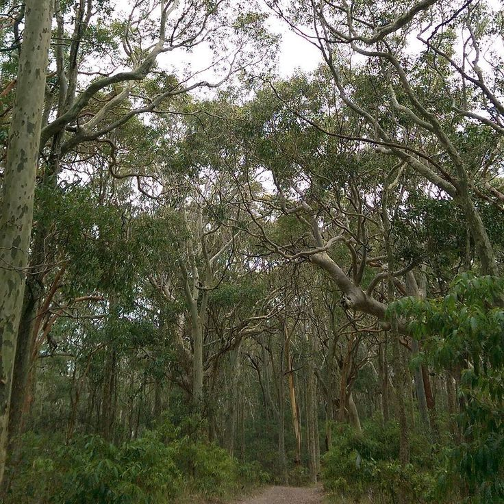 Taking in the beautiful trees of Auz 5 days to go until I leave for Canada! #travel #loveaustraliannature #natureisawesome #thewovendream