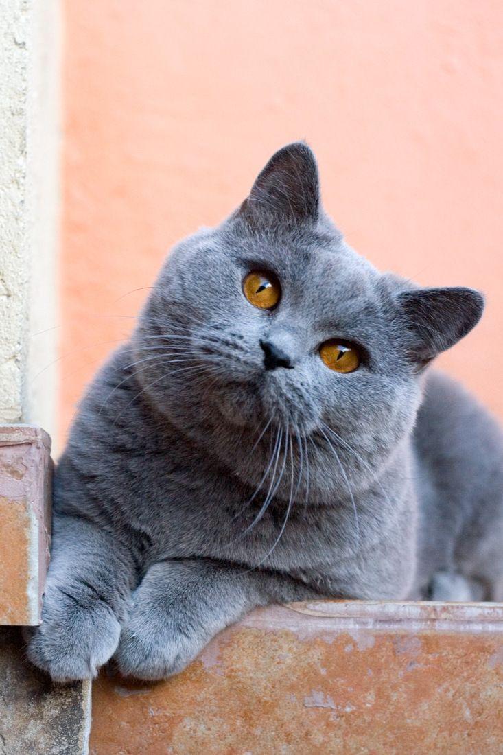 British Shorthair 25 Cute British Shorthair Photos Life Criters British Shorthair Cute Cats And Kittens British Shorthair Cats