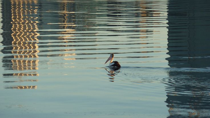 Early morning visitor on the Swan River Perth