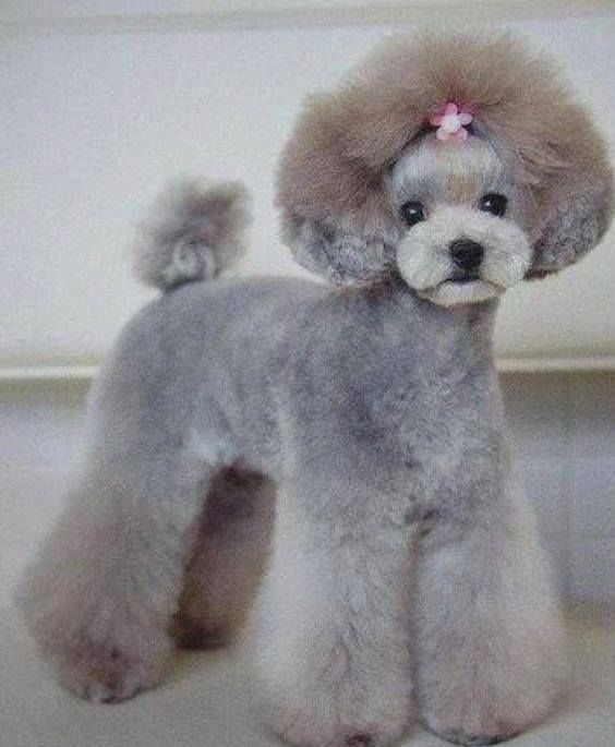 Asian fusion miniature poodle groom. very nice for the show but a lot of prep