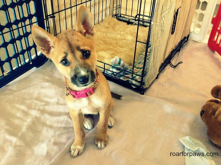 roarforpaws.com Rebel the Australian Dingo cross - read how I found her