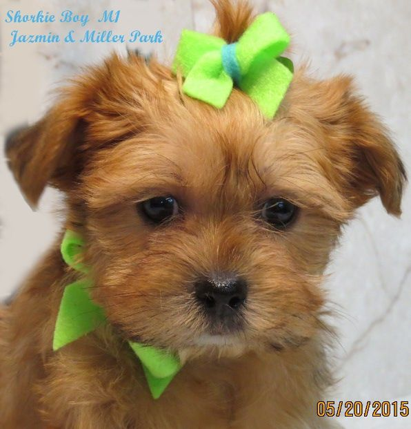 Morkie Puppies Adoption Ny