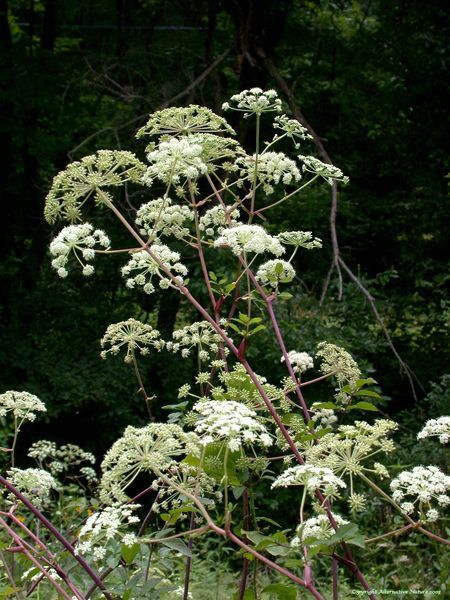 Angelica: used in the treatment of insomnia and headaches, used to soothe stomach problems, coughs, and sore throats, good for digestion, helps prevent acne