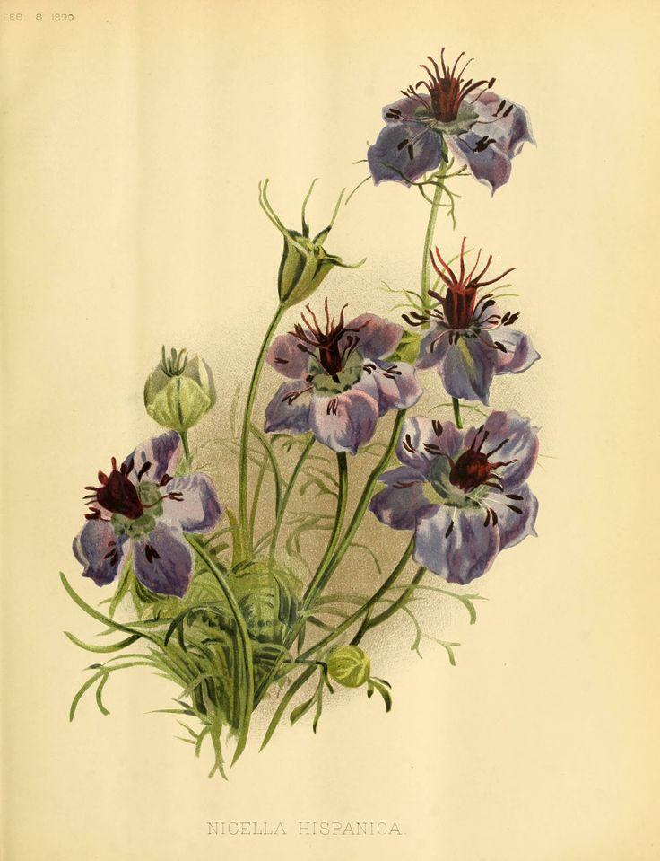 33 best Amazing Nigella sativa Plant Pics! images on ...