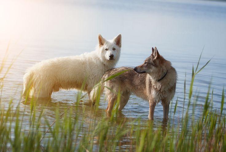 White Shepherd & Czechoslovakian Wolfdog: Nanook & Chinua in the Ferring So (Vejlby Klit, May 2016)