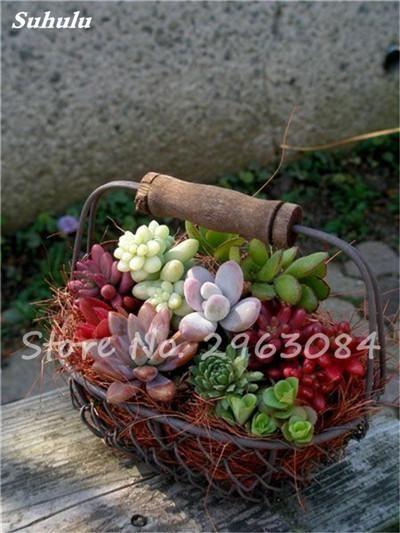 200 pcs/bag Succulents Seeds, mini bonsai seeds, Indoor Miniature Garden Bonsai Flower Seeds Potted Plants Purify the Air