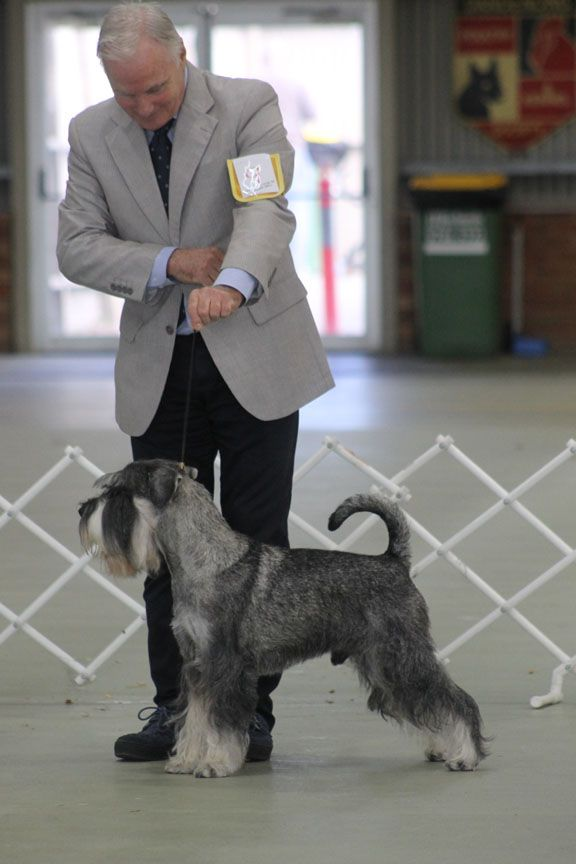 """Part 2 of 3 """"DOING A FONZIE"""" : How to stop in the perfect stack. Stacking a show dog should take no longer than three or four seconds but for many, it can take up to 15 or 30 seconds or more. In the second pa..."""