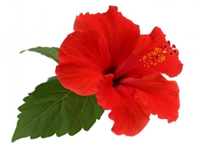 3 1 Dry Hibiscus Leaves Powder Gudhal Leaves Powder And Organic Herbs Flower Tea Ebay Home Garden Hibiscus Leaves Growing Hibiscus Hibiscus Plant