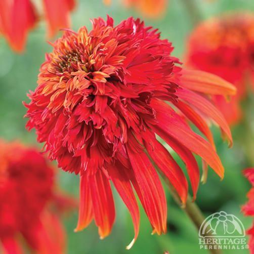 299 best echinacea images on pinterest flower gardening. Black Bedroom Furniture Sets. Home Design Ideas