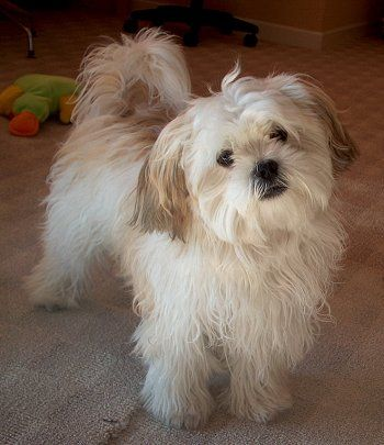 These maltese shih tzu mixes just make me happy.