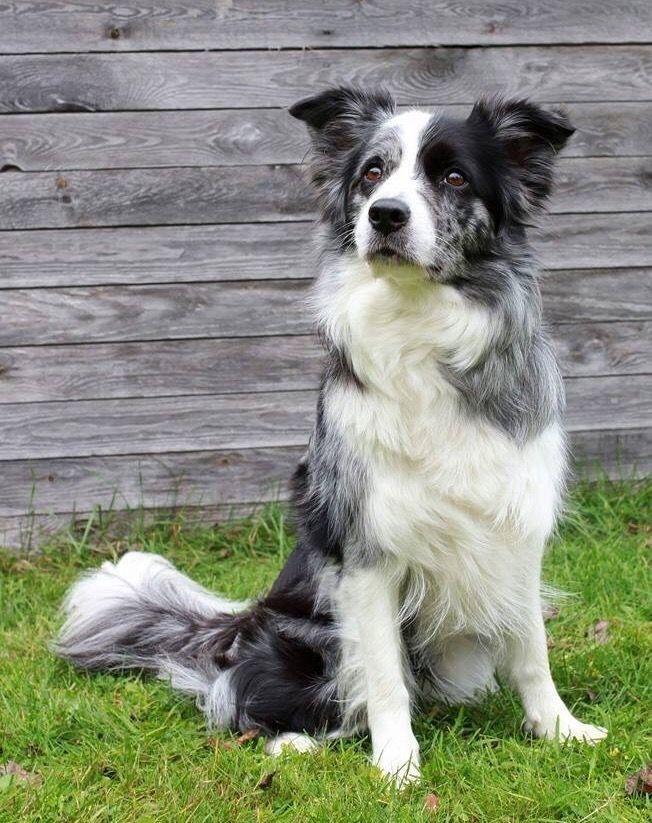 Pin By Sam Bertie On Dog Portraits Dog Breeds Collie Dog