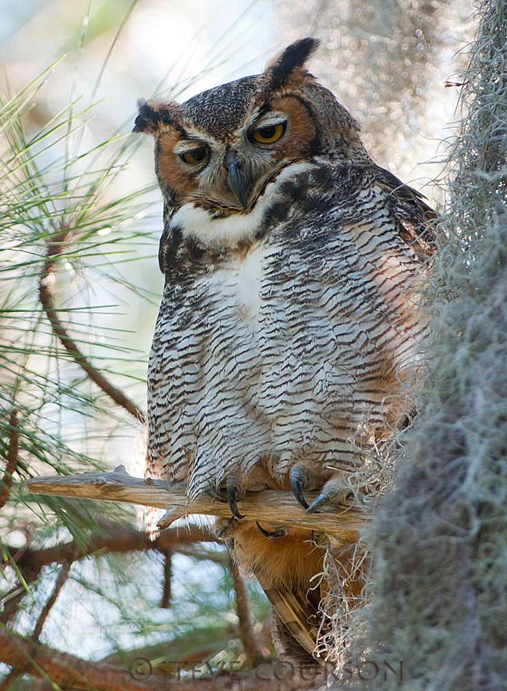 great horned owl (Explored) by Steve Courson**