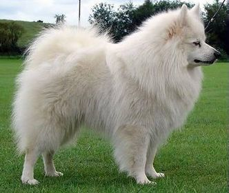 The German Spitz has pricked ears plus a coated tail that falls forward more than the back.