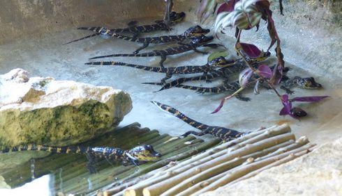 Boom des naissances chez les Alligators du Mississippi à la Réserve Africaine de Sigean