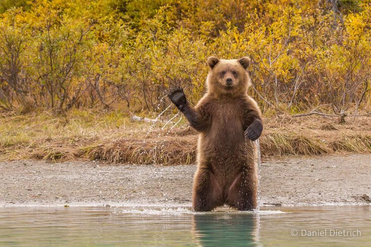 "Photographer gets an unforgettable hello from a grizzly bear | ""It's not too often that a photographer captures a moment in a wild animal's life that looks so unbelievably human. Indeed, it's usually in these anthropomorphic moments that we find the most connection -- and the most humor -- with wildlife""."