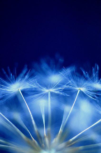 Blue | Blau | Bleu | Azul | Blå | Azul | 蓝色 | Color | Form | Texture | Dandelion Wishes